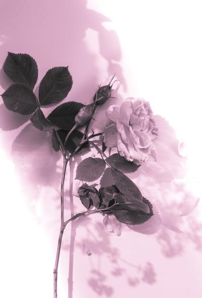 mpj-rose-on-table-1-jpg