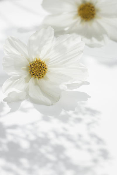 mpj-white-cosmos-flower-jpg