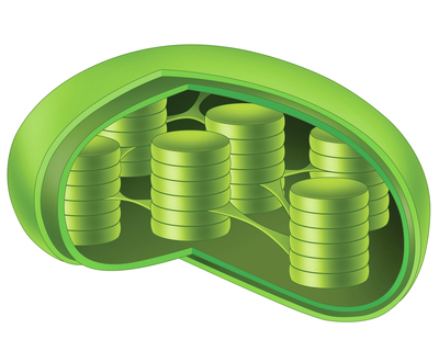 chlorophyll-jpg