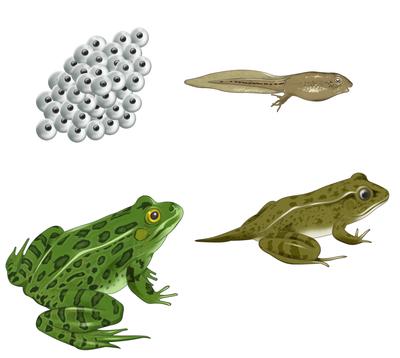frog-cycle-jpg