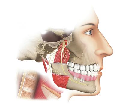 teeth-and-muscles-jpg