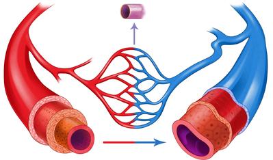 veins-and-arteries-jpg