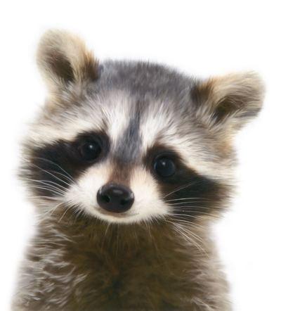 la-racoon-cub-aw-jpg