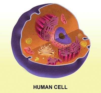 slongo-human-cell-jpg