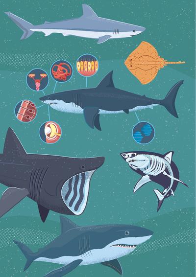 x-ray-shark-01-01-jpg