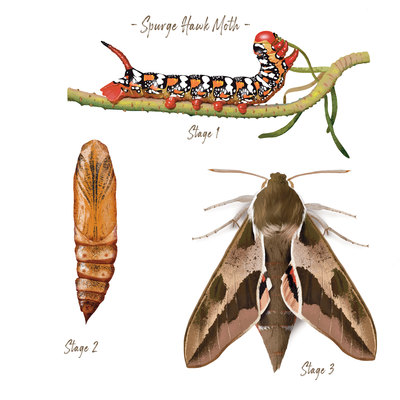 hawk-moth-study-jpg