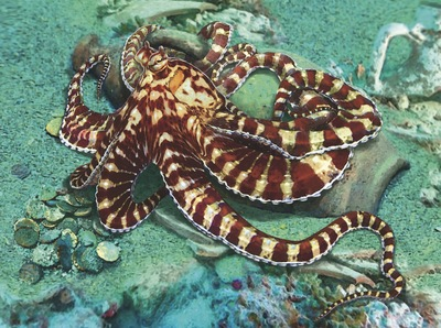 mimic-octopus-jpg