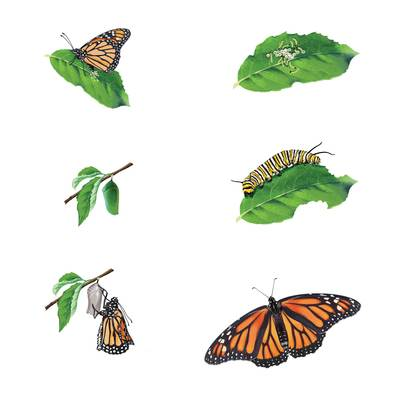 butterfly-life-cycle-jpg