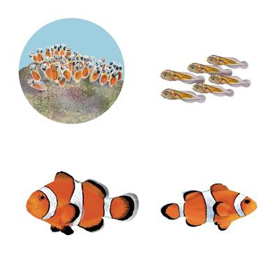 clownfish-life-cycle-jpg