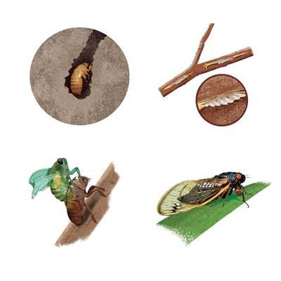 cicada-life-cycle-jpg
