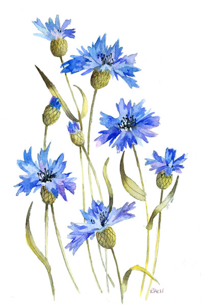 cornflower-colour-jpg