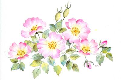 wild-roses-colour-jpg