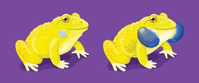 indian-bullfrog
